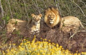 Löwen_südafrika_turnagain