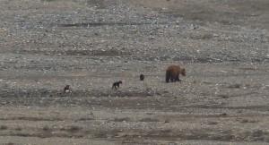 grizzly_denali_turnagain