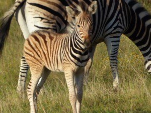 zebras_gondwana_turnagan