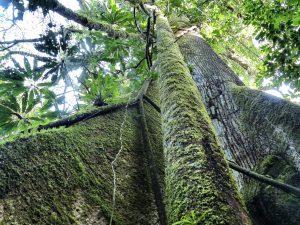 kapok_tree_ecuador_turnagain